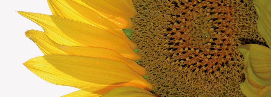 Detail of a sun flower